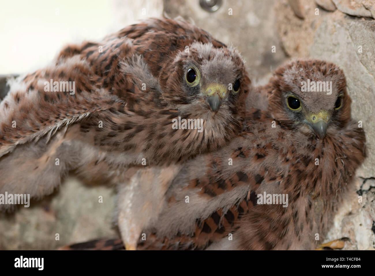 common kestrel, juveniles, (Falco tinnunculus) - Stock Image