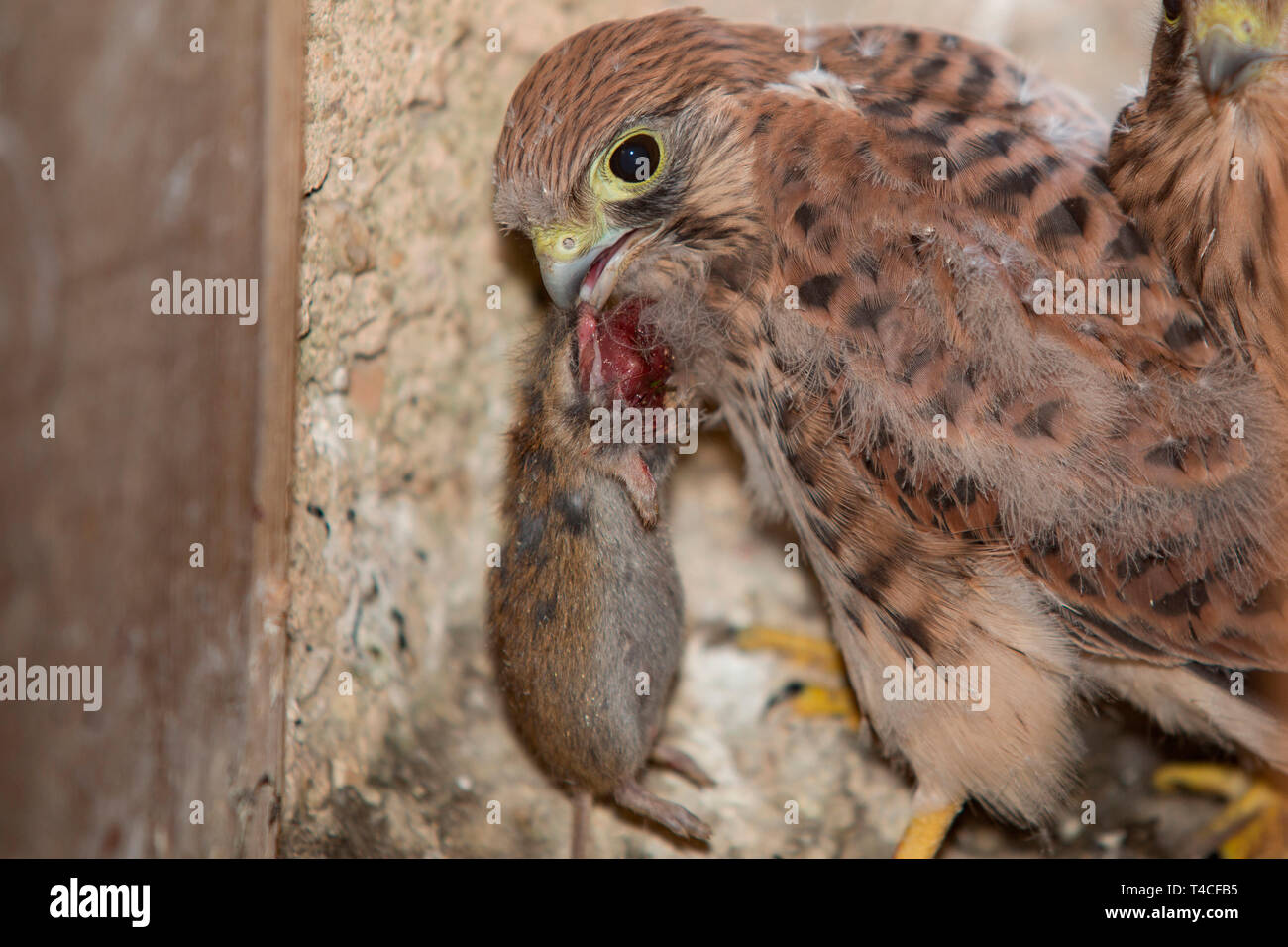common kestrel, juvenile with mouse, (Falco tinnunculus) - Stock Image