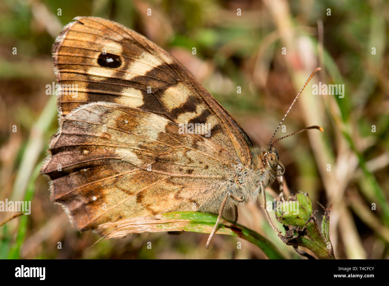 speckled wood, (Pararge aegeria) - Stock Image