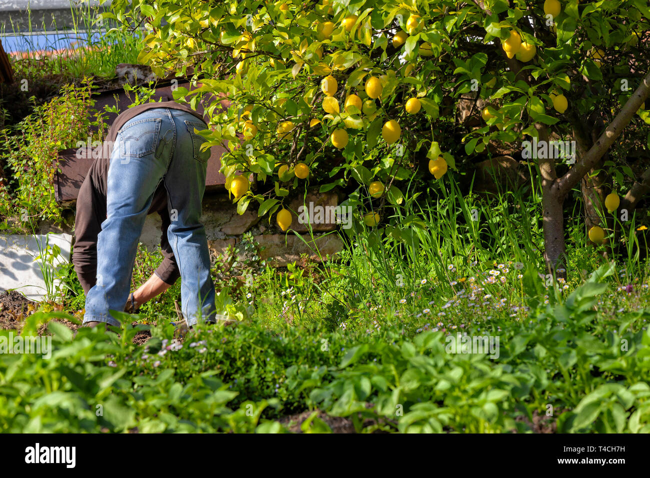 A man cultivating his organic garden of fruits and vegetables. Stock Photo