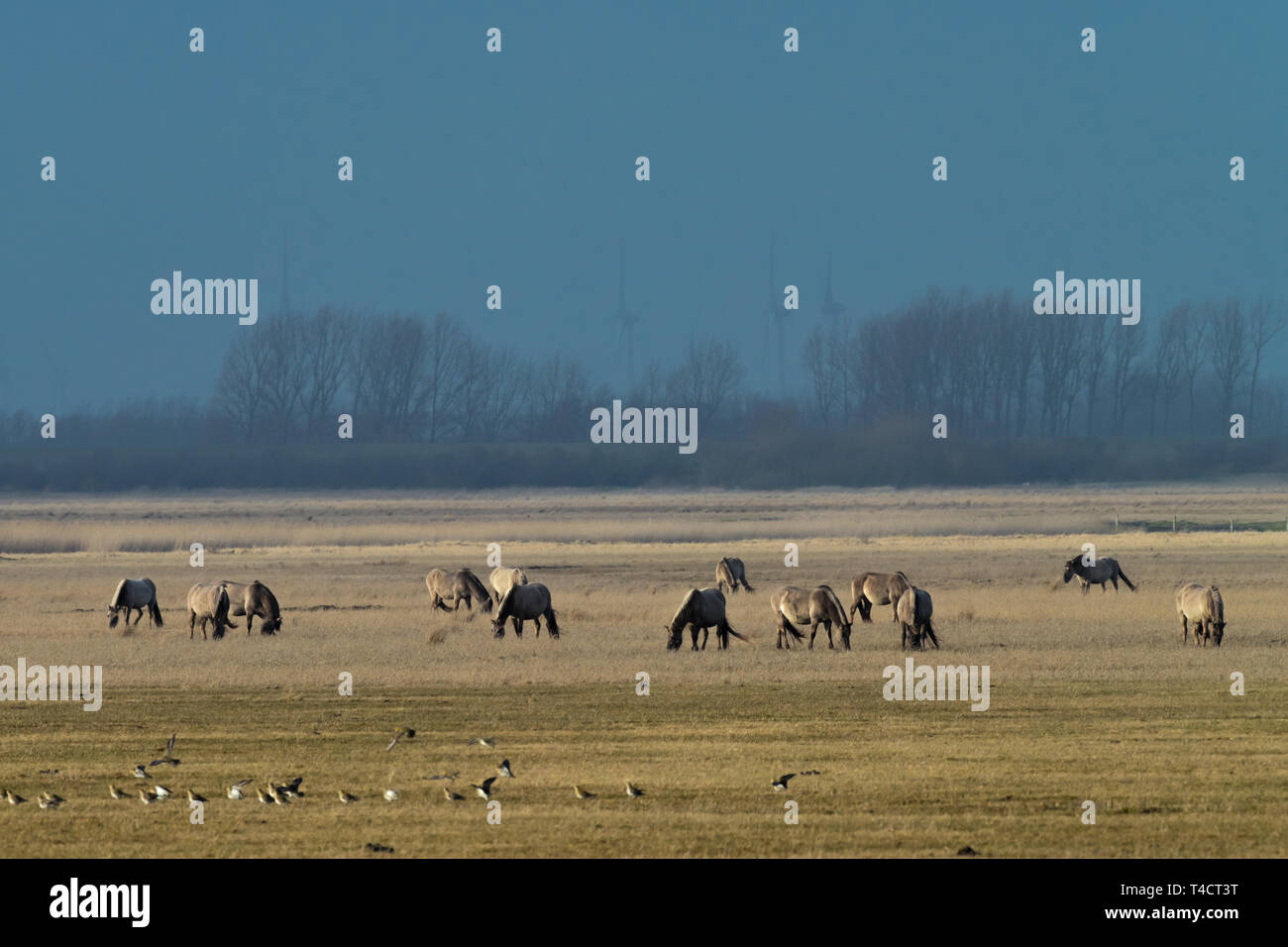 herd of conik horses on a pasture in winter Stock Photo