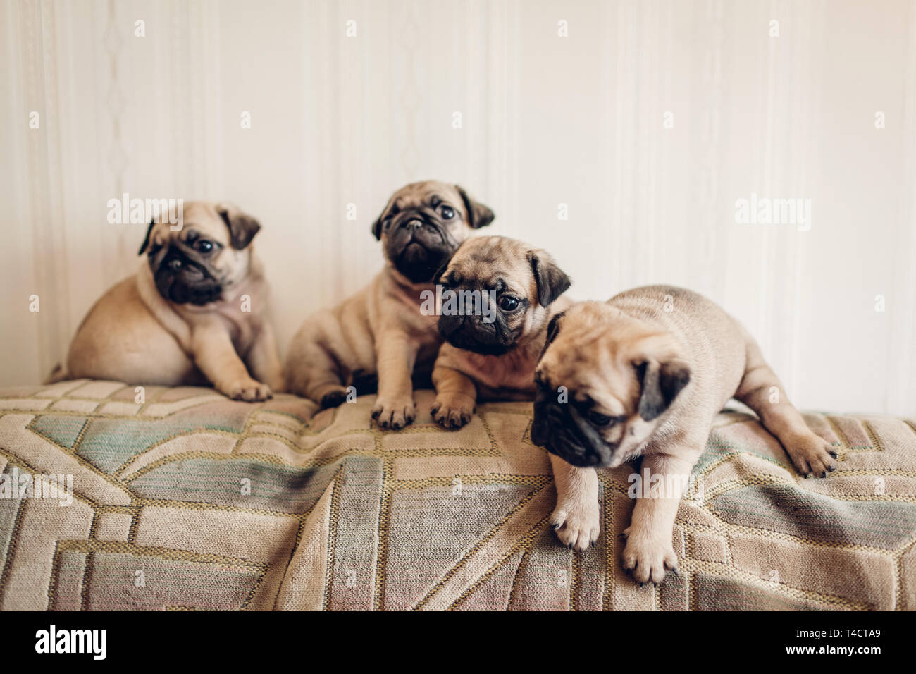 Pug Puppies High Resolution Stock Photography And Images Alamy