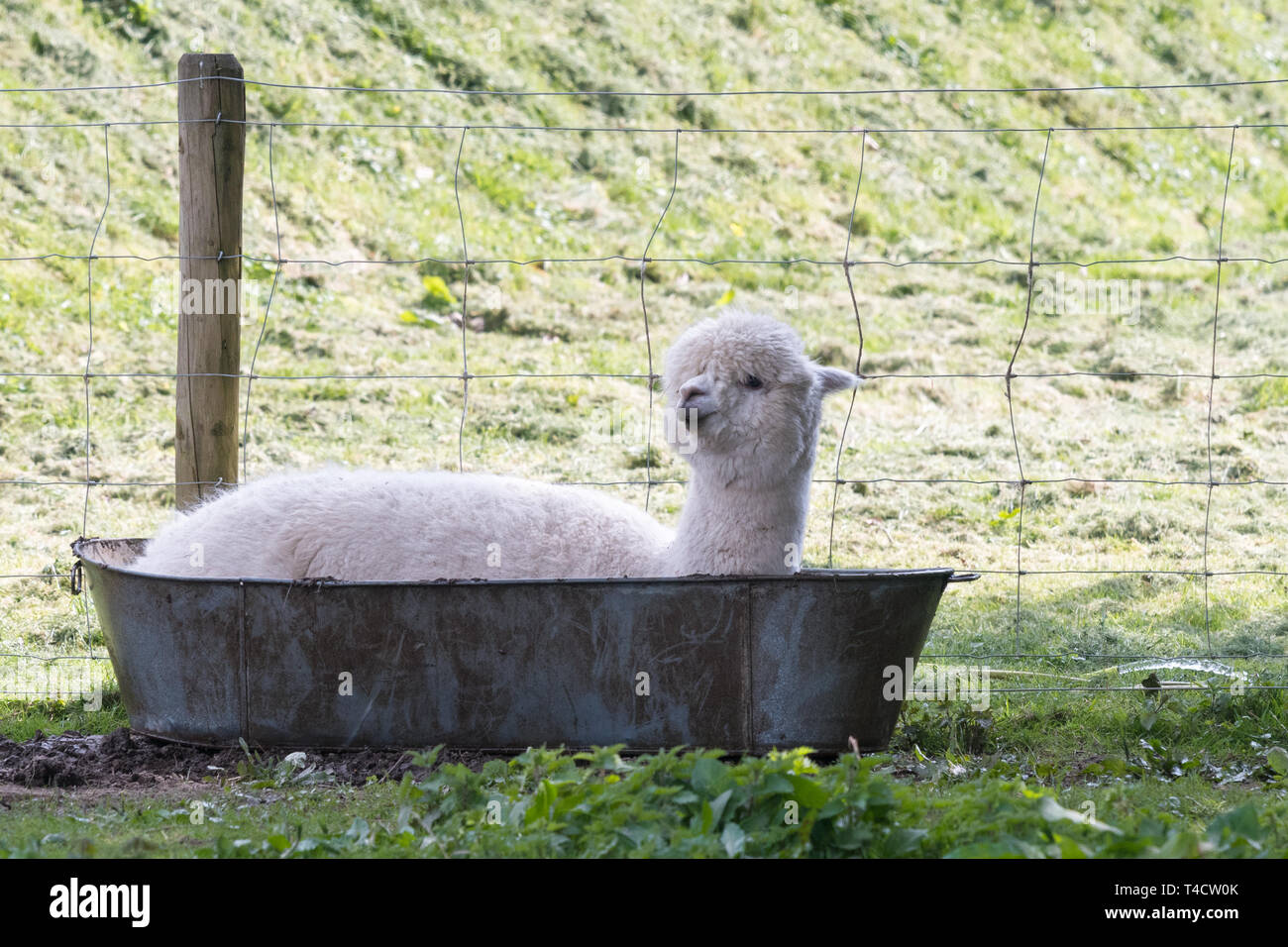 Alpaca cooling down in a bathtub - Lakes Distillery, Setmurthy, Cumbria, England, UK Stock Photo