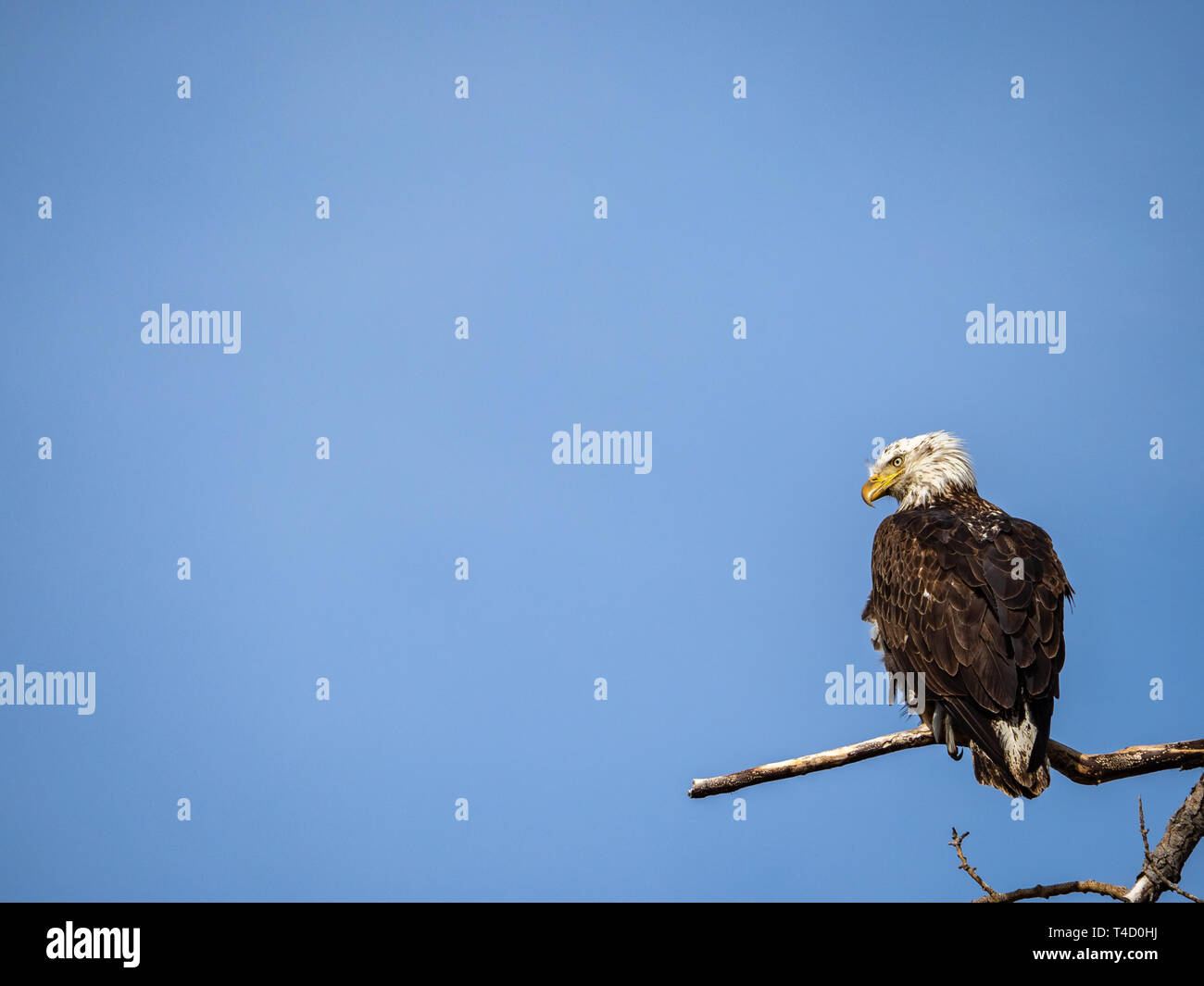 Young Bald Eagle (Haliaeetus leucocephalus) perched on the branches of a cottonwood tree against a overlooking Barr Lake in Brighton, Colorado, USA - Stock Image