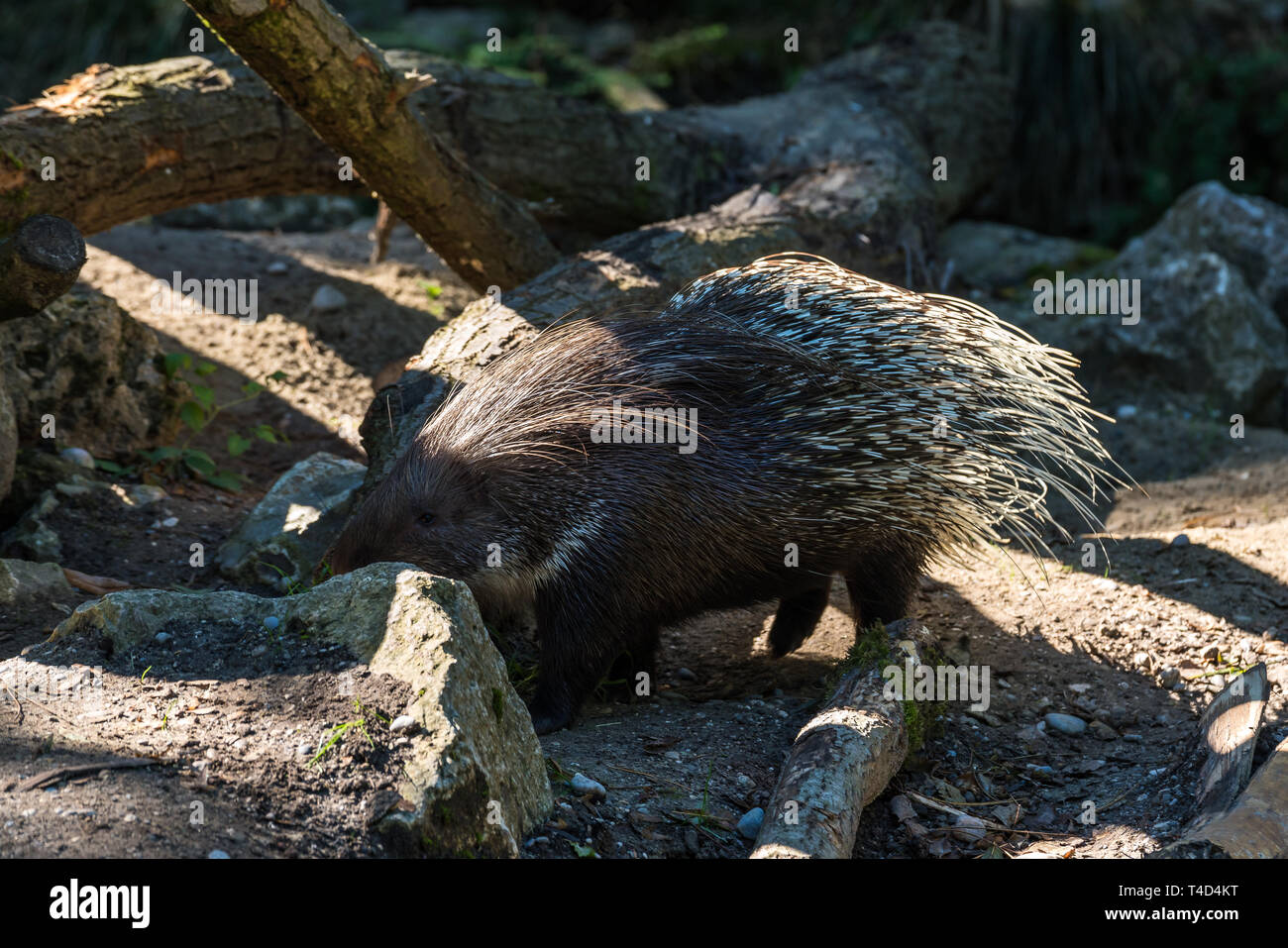 The Indian crested Porcupine, Hystrix indica or Indian porcupine, is a large species of hystricomorph rodent belonging to the Old World porcupine fami - Stock Image