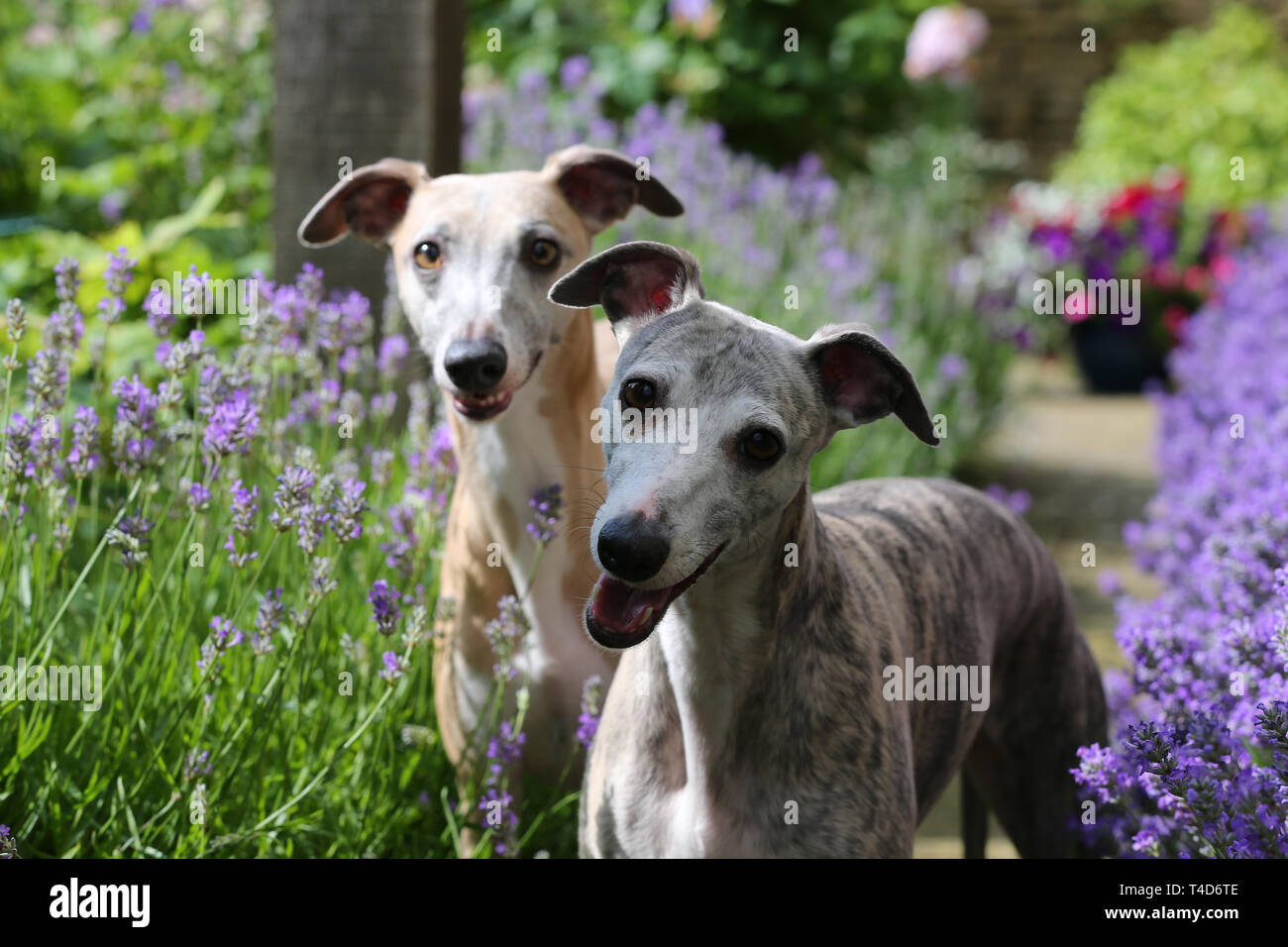 6706ca45a0b0c Fawn Whippet Stock Photos   Fawn Whippet Stock Images - Alamy