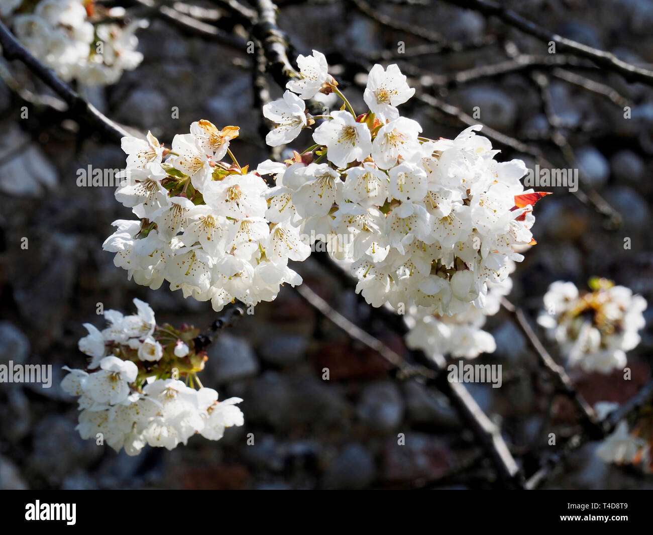 White apple blossom makes a fine display on an April day. Stock Photo