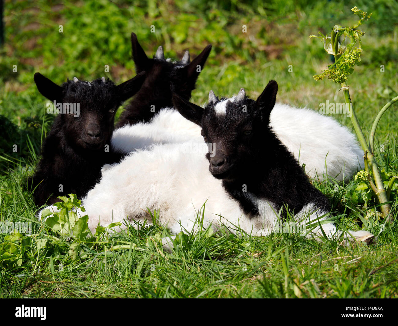 Black and white Bagot goat with kids inn a grassy paddock. The nanny goat has full horns and the young kids show small horn buds. with full horns. Stock Photo