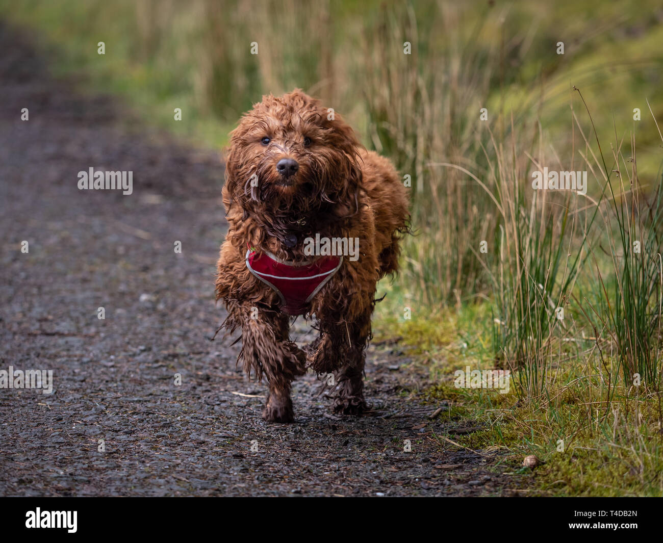 A young cockapoo running down a track in the woods near Aberfoyle in the Trossachs National Park - Stock Image
