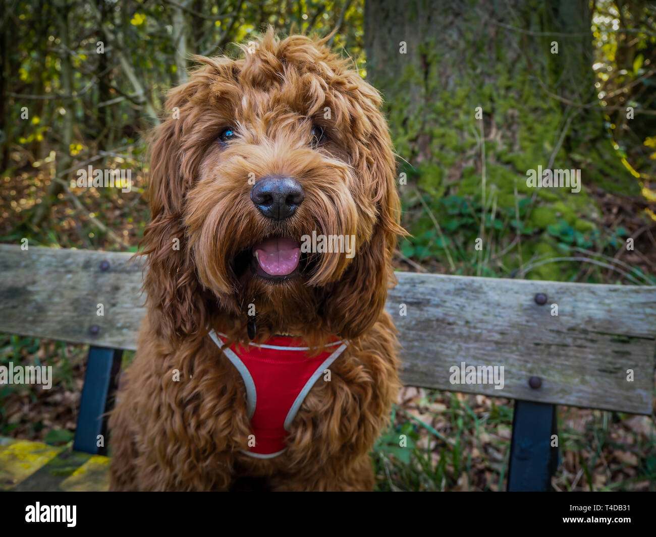 A young cockapoo sitting on a bench in the woods near Aberfoyle in the Trossachs National Park - Stock Image