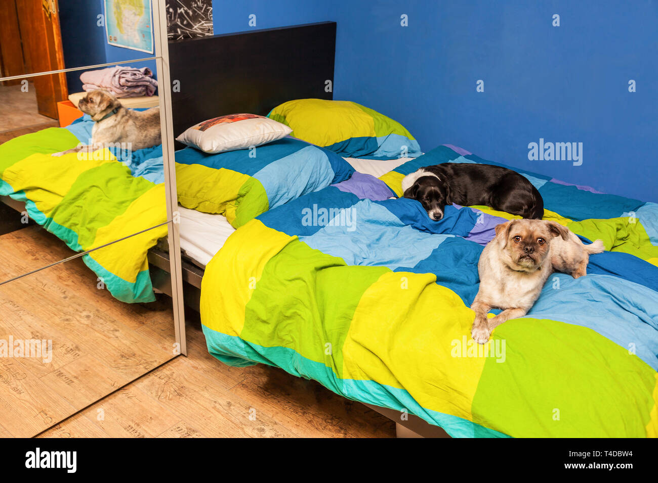 Two dogs lying in a bed - Stock Image
