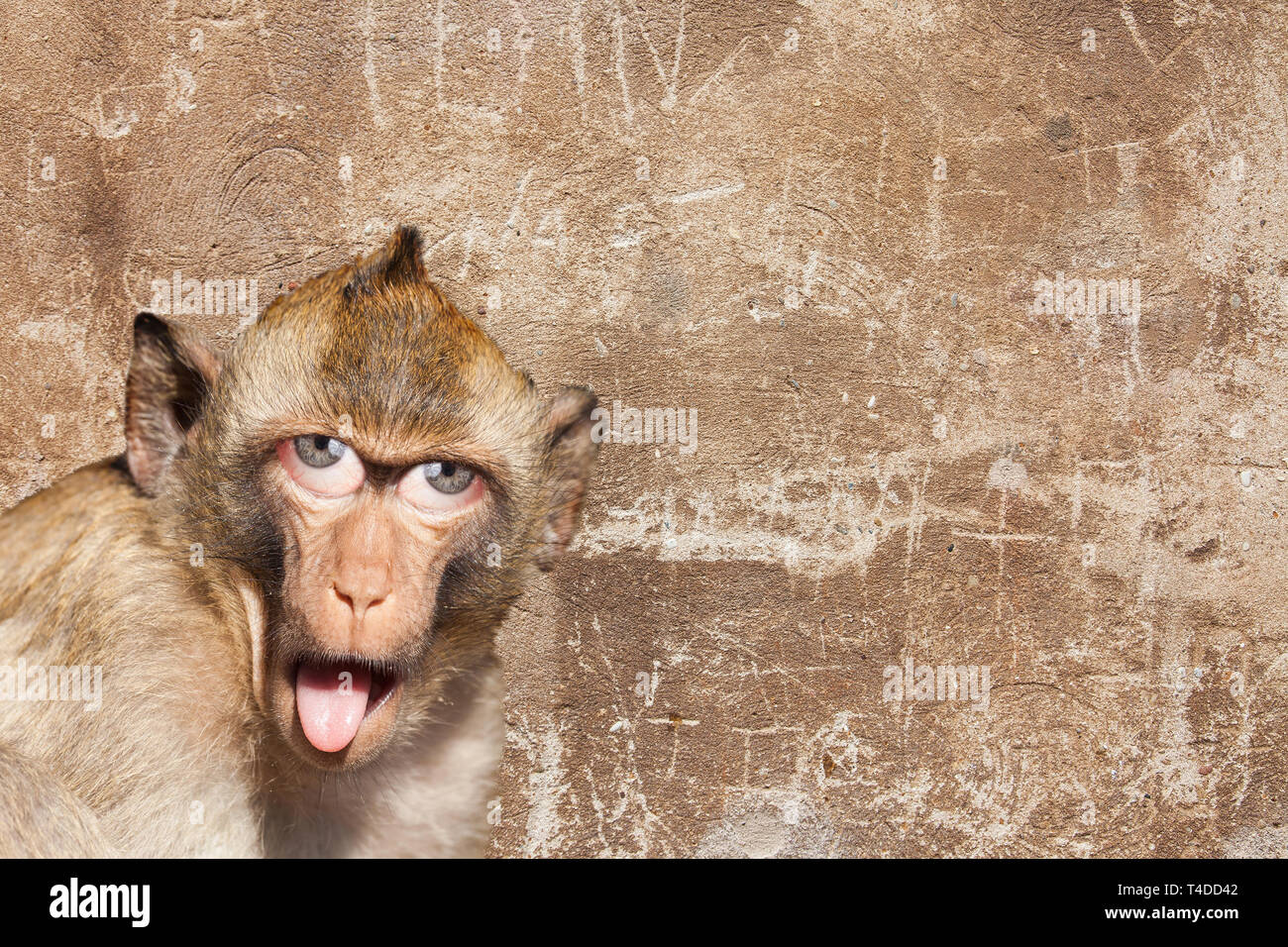 Rhesus monkey with his tongue sticking out, with human eyes and gray wall in the background - Photoshop Composing - Stock Image