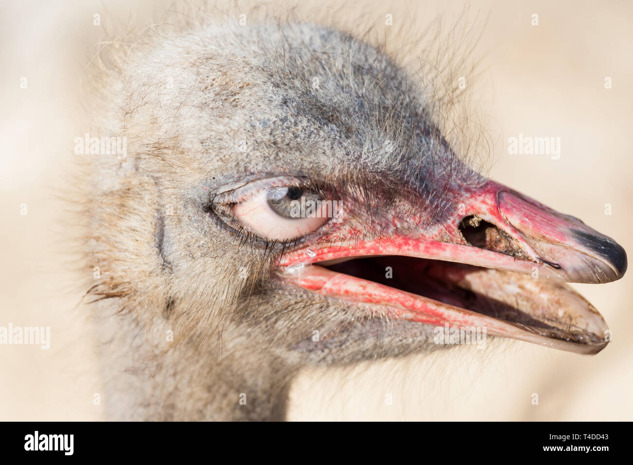 Portrait of an ostrich head with human eyes - Photoshop composing - Stock Image