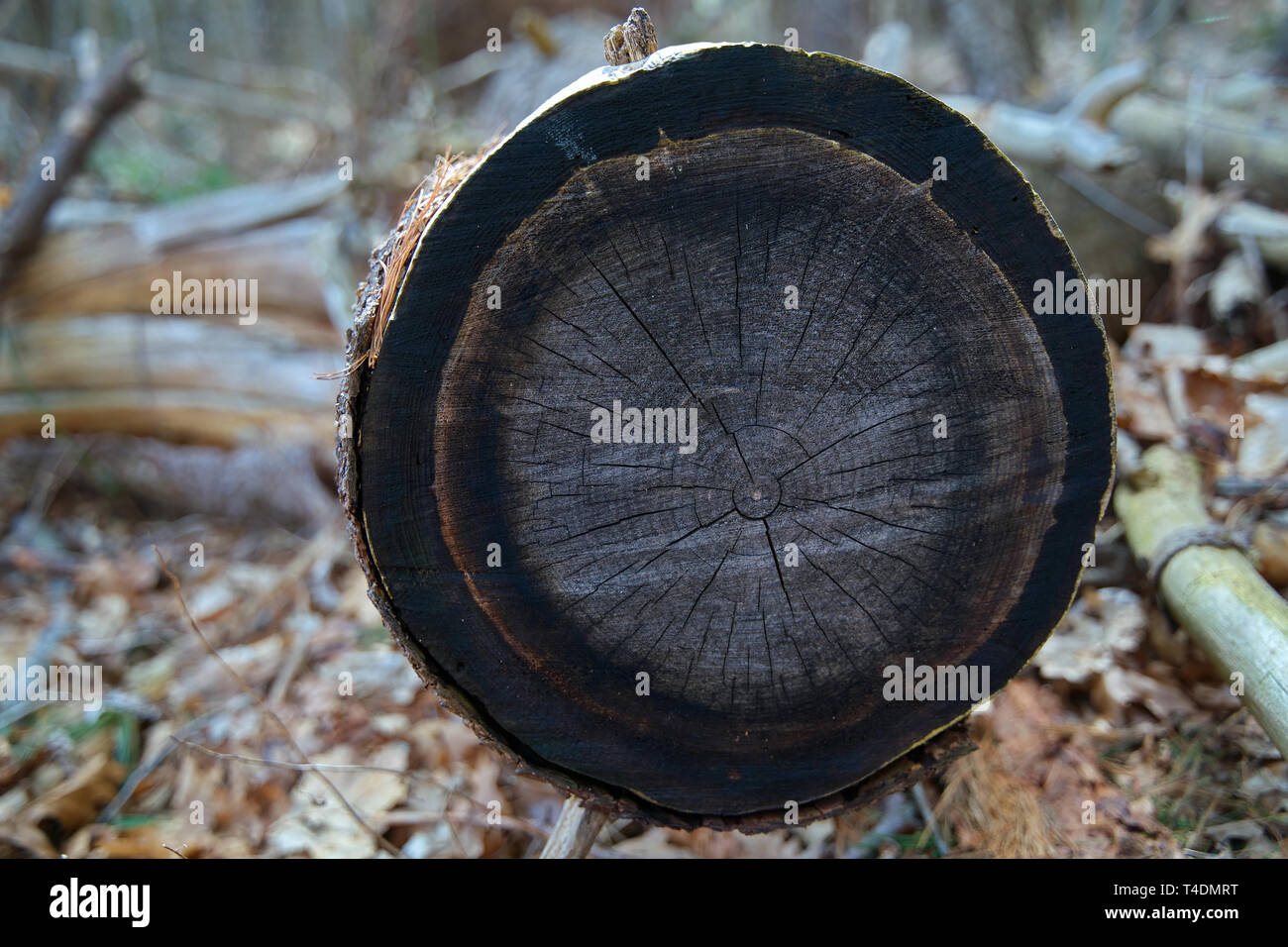 Cross section of a cut tree. Rings of a tree or annual growth rings not only date trees but are historical indicators of past environmental events. - Stock Image