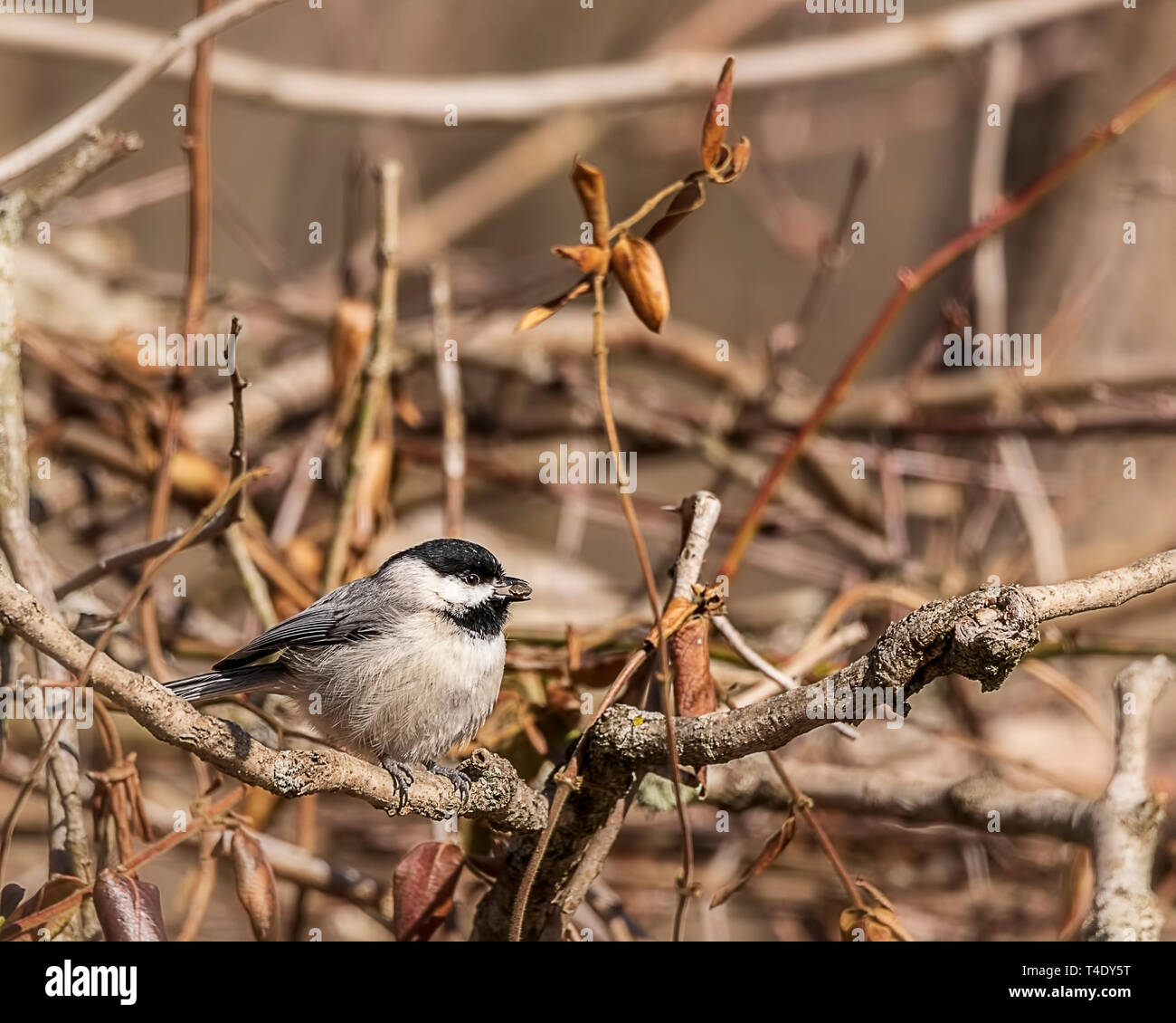 A beautiful Carolina chickadee perched in the brambles. - Stock Image