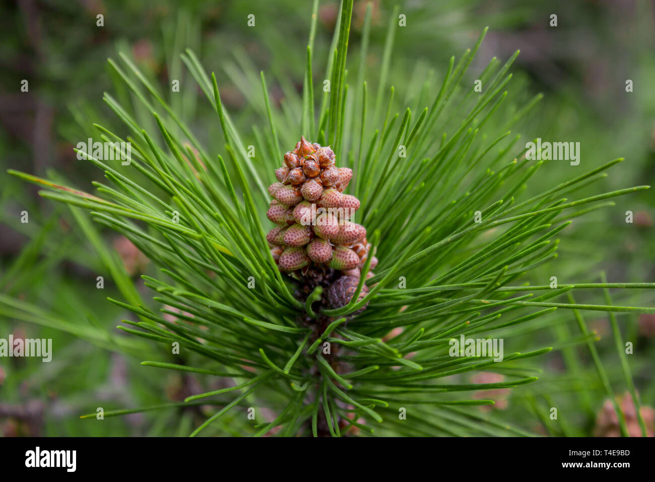 Is a species of pine that is native to Eurasia, ranging from Western Europe to Eastern Siberia, south to the Caucasus Mountains and Anatolia, and nort - Stock Image