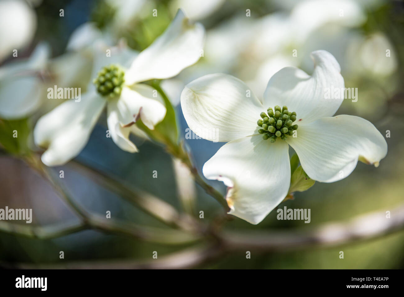 Beautiful white dogwood blossoms announce the coming of spring in Atlanta, Georgia. (USA) Stock Photo