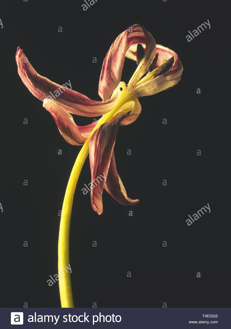 Old withered purple tulip on a dark background, Past beauty with abstract fragility - Stock Image