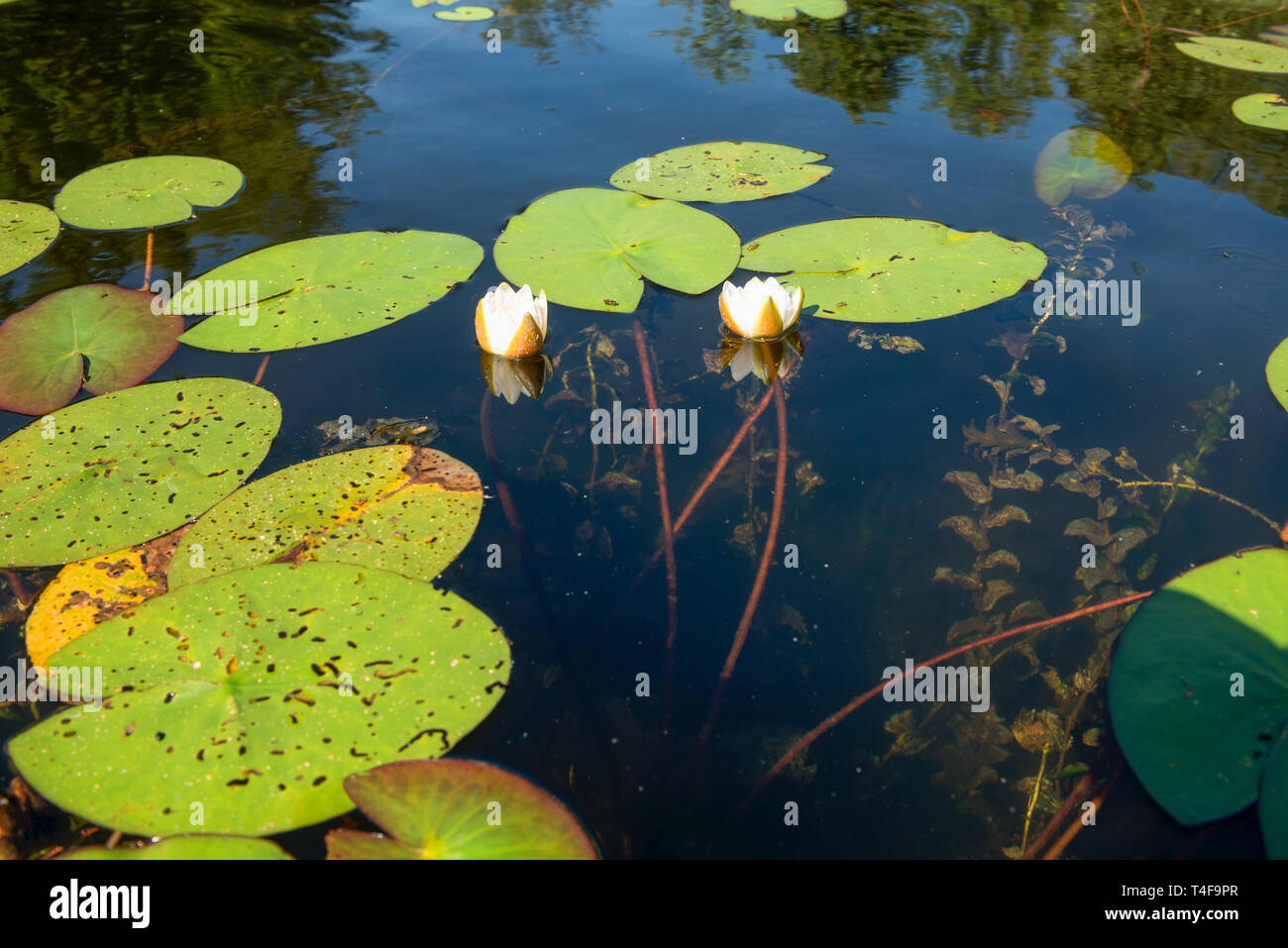 Water Lily Roots Surface Water Lily Flower Tree Root Pattern Tree