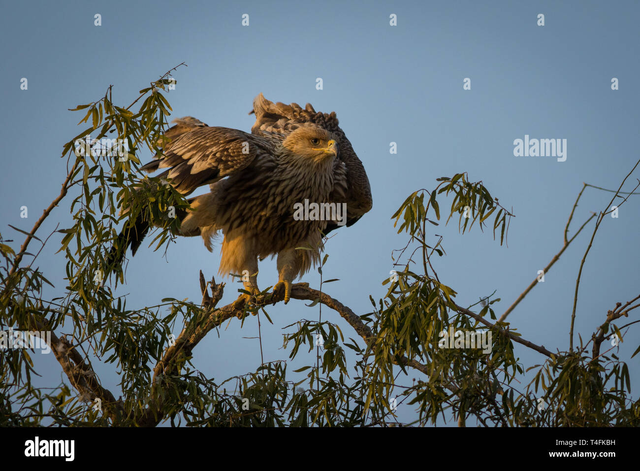 An aggressive eastern imperial eagle or aquila heliaca with wings open at jorbeer conservation reserve, bikaner, rajasthan, india - Stock Image