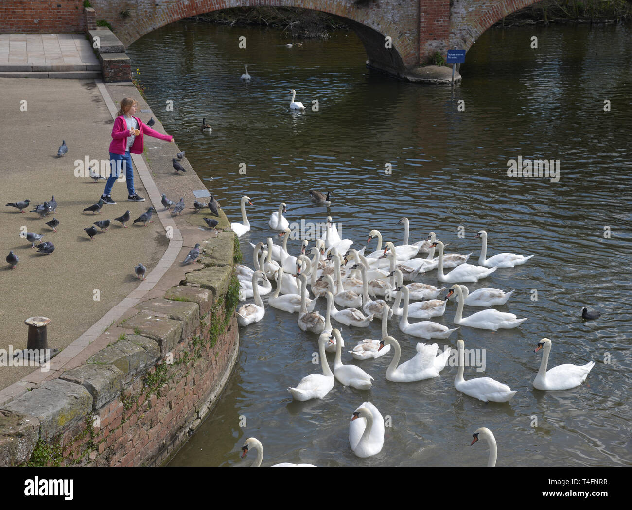 Feeding swans from the bank of the River Avon in Stratford upon Avon, Warwickshire Stock Photo