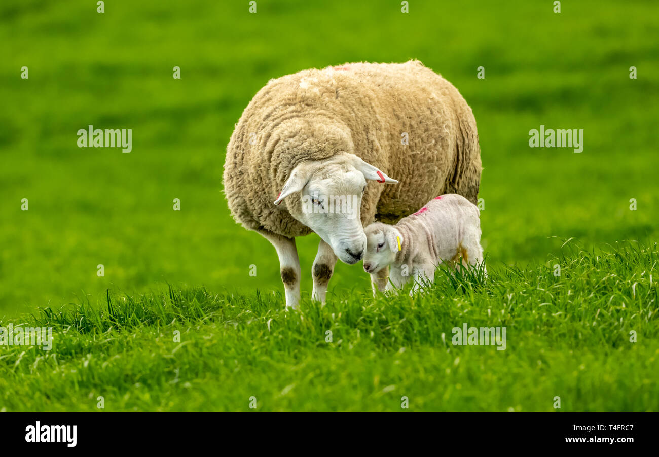 Texel Ewe with her newborn lamb.  Concept: Mother's love.  Sheep and lamb in lush green meadow in Spring time.  Landscape, horizontal.  Space for copy - Stock Image