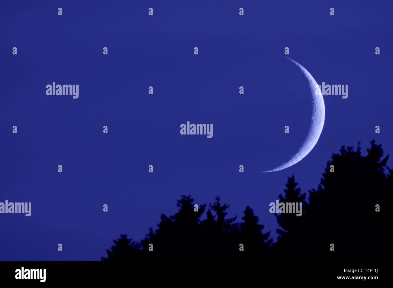 Crescent moon, sickle moon, fingernail moon rising up over coniferous woods at a blue night sky, just after moonrise, Europe - Stock Image