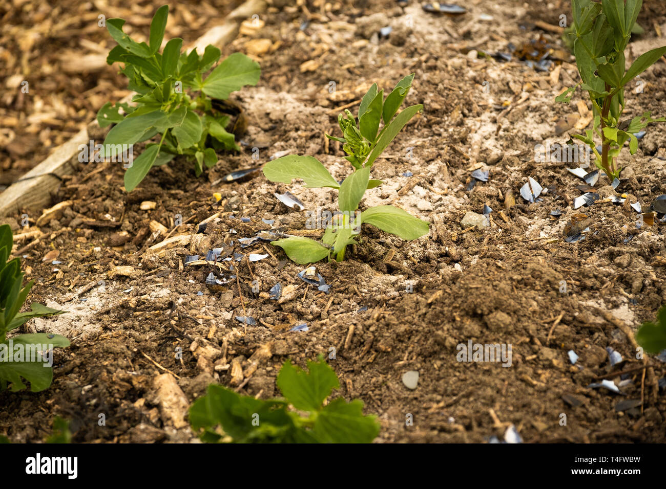 Vegetable gardening in the UK - young broad bean plants in a raised bed on an allotment garden surrounded by a dusting of fresh wood ash and crushed mussel shells to protect them from being eaten by slugs Stock Photo