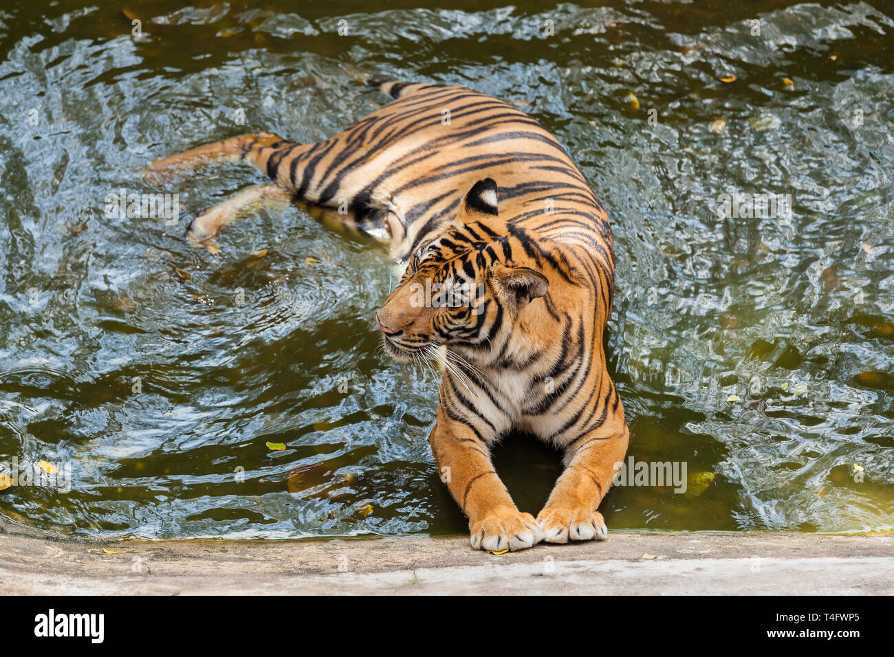 Young Tiger bathing in the water Stock Photo