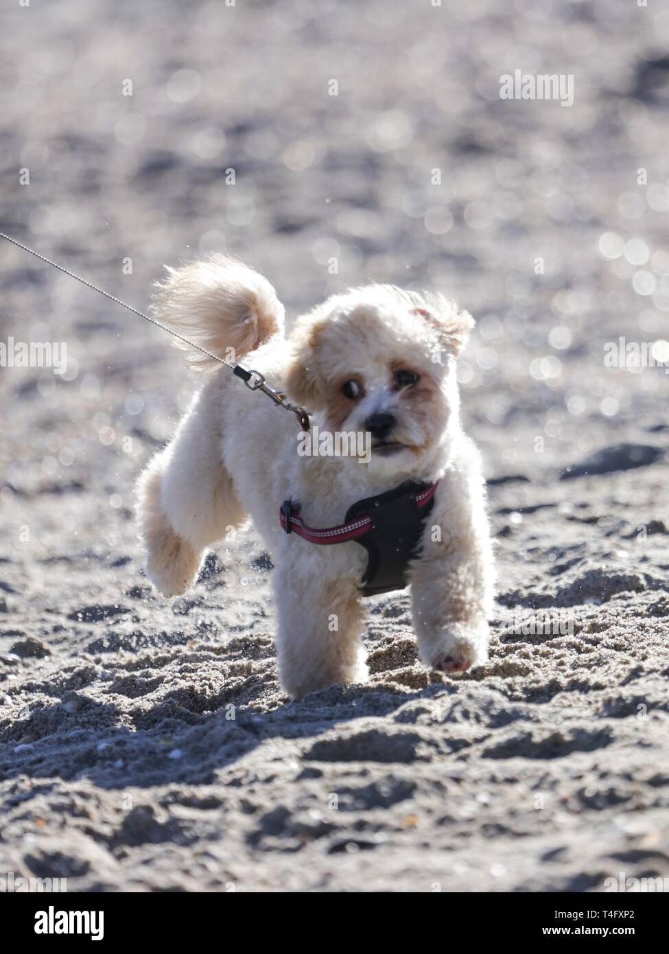 Funny little puppy having fun outdoor on the beach near the sea. Running and jumping with his lovely owner. Cute doggy wearing breast-band to walk Stock Photo