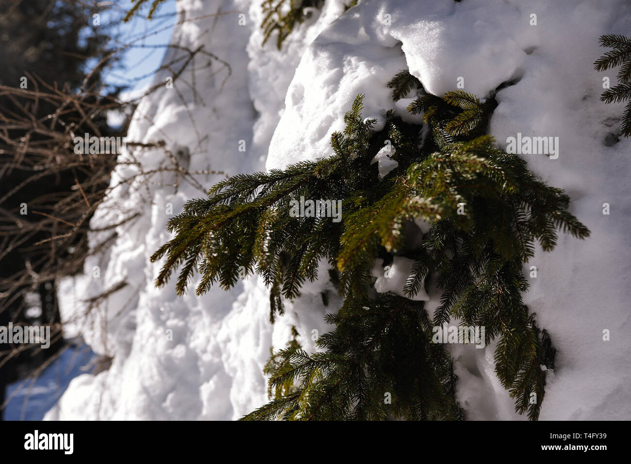 Small green fir-needles, soft white snow lying on the branches. Winter fairytale, Christmas holidays outdoor. Pine tree forest, blue sky, cold and sun Stock Photo