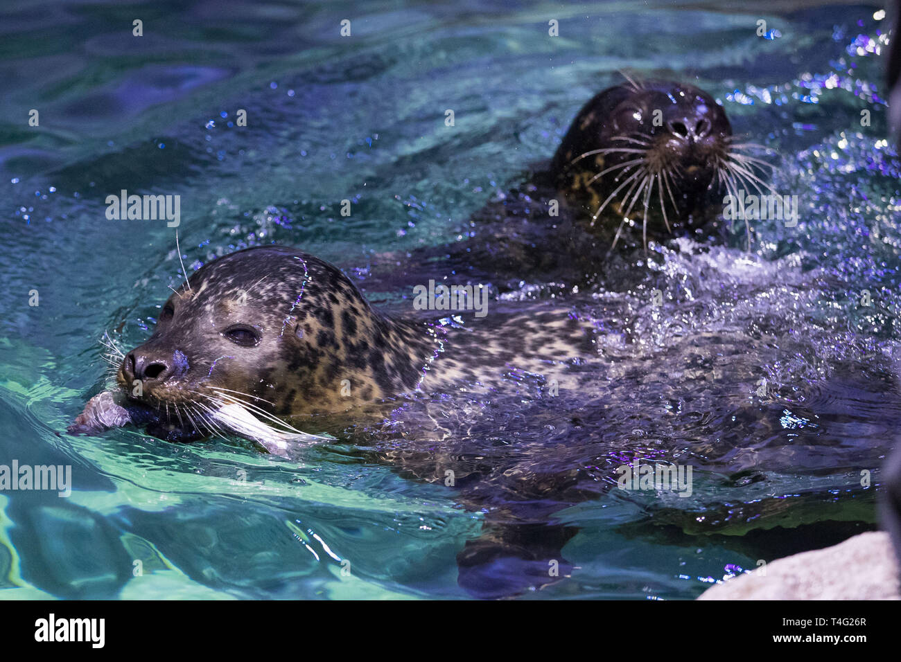 Seals Miley (left) and Boo, which have recently arrived at the new seal rescue facility at the National Sea Life Centre Birmingham. - Stock Image
