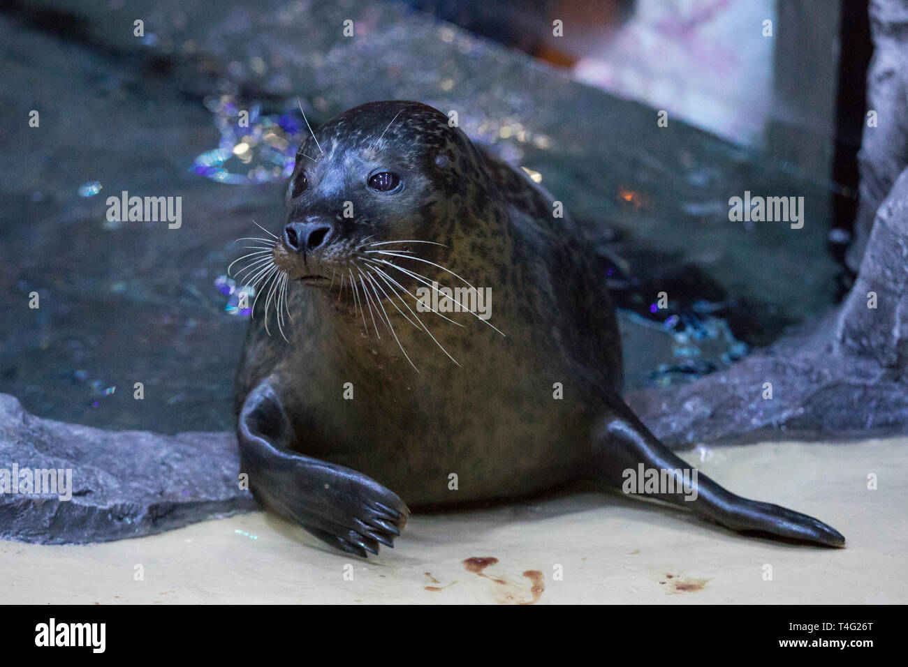 Miley, one of two seals to have arrived at the new seal rescue facility at the National Sea Life Centre Birmingham. - Stock Image