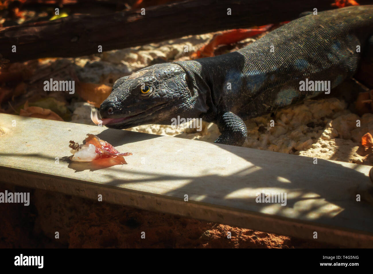 Male Tenerife lizard (Gallotia galloti) about to eat some parma ham with its tongue sticking out - Stock Image