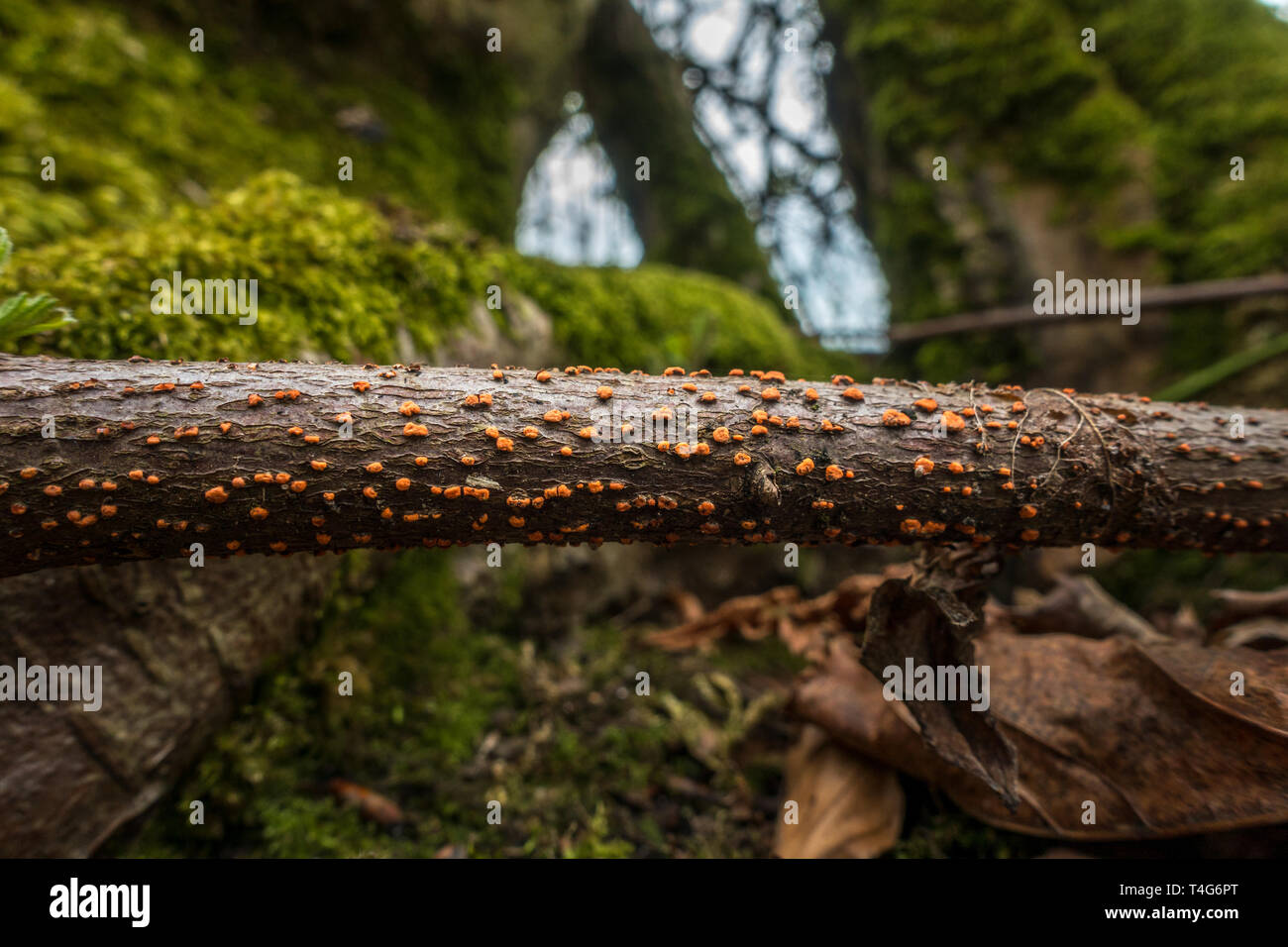 Coral spot fungus, Nectria cinnabarina, on a stick on the forest floor, UK - Stock Image