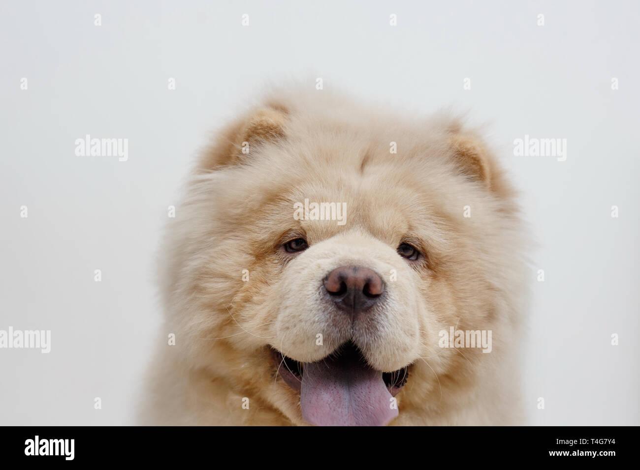 Puffy Lion Dog Stock Photos & Puffy Lion Dog Stock Images