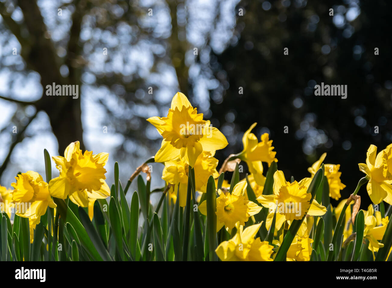 Blooming narcissus yellow flowers on a natural blurred background. - Stock Image