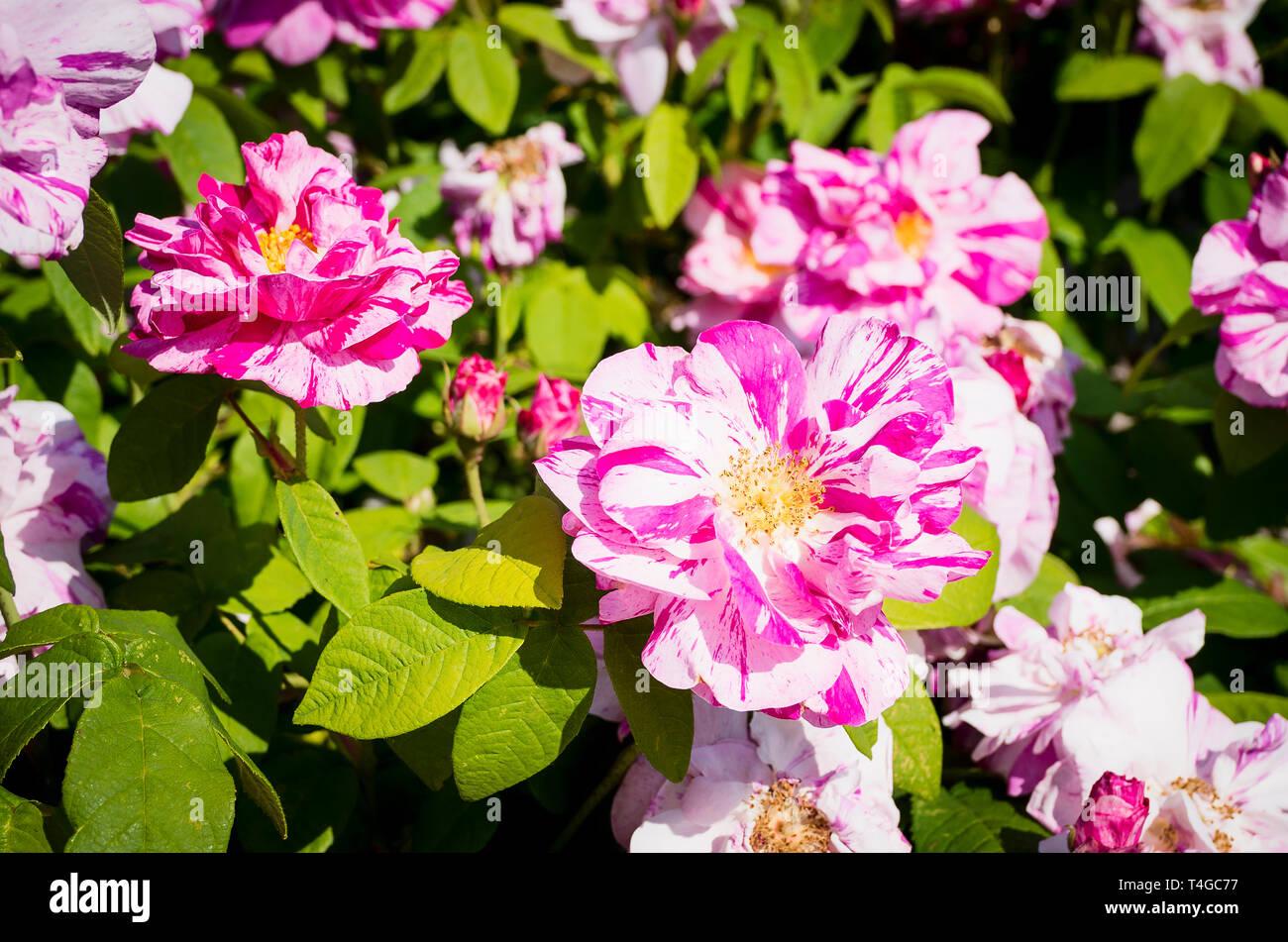 Rosa Mundi Versicolor with unusual petal markings in flower in summer - Stock Image