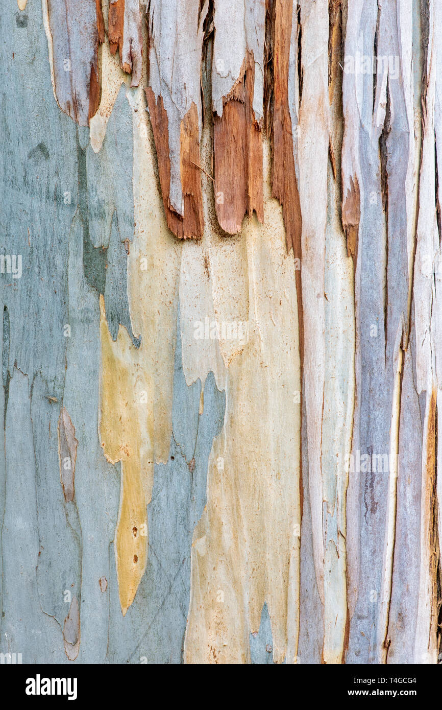 Eucalyptus glaucescens. Tingiringi gum tree bark - Stock Image