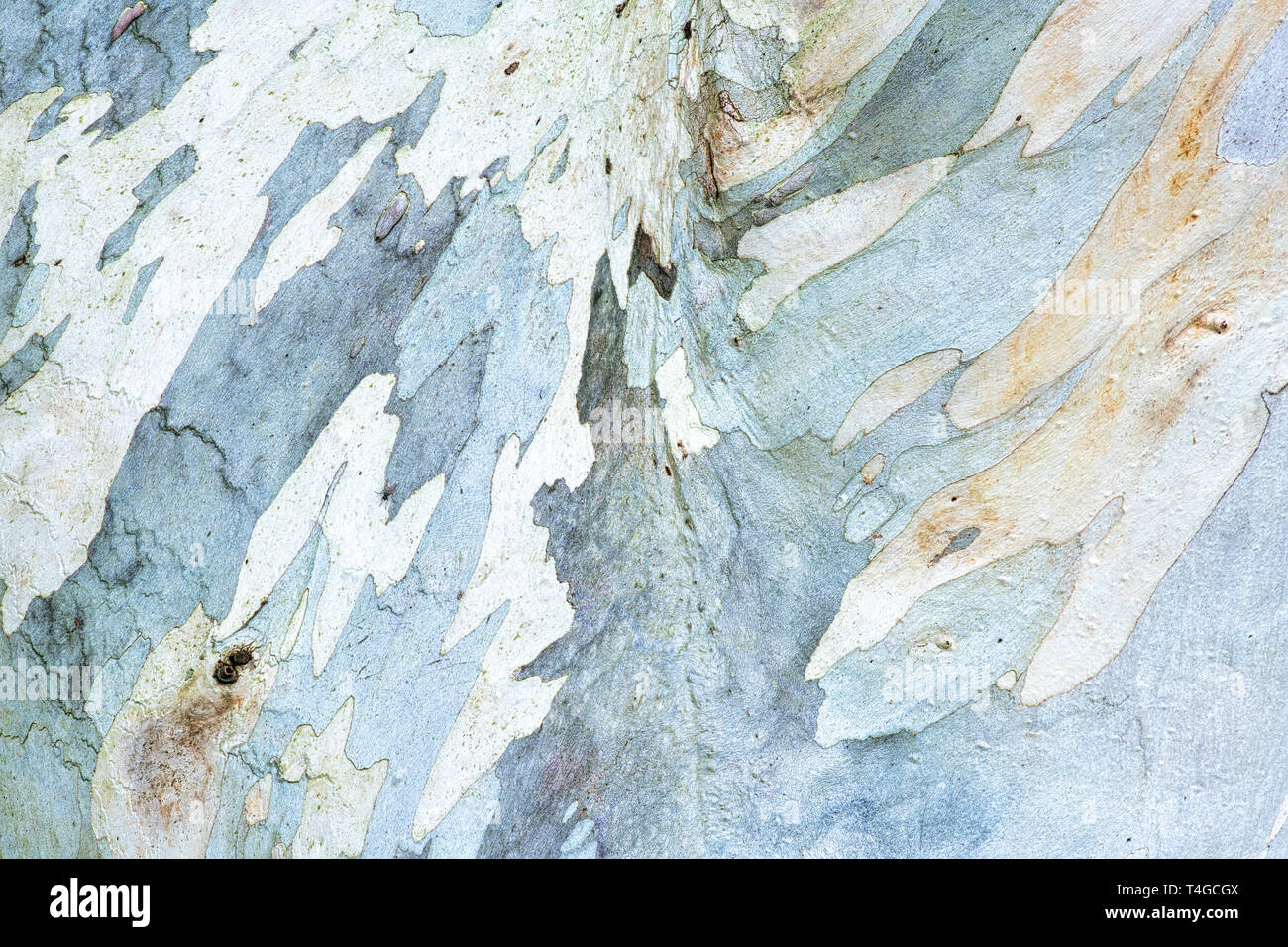 Eucalyptus pauciflora niphophila. Alpine snow gum tree bark - Stock Image