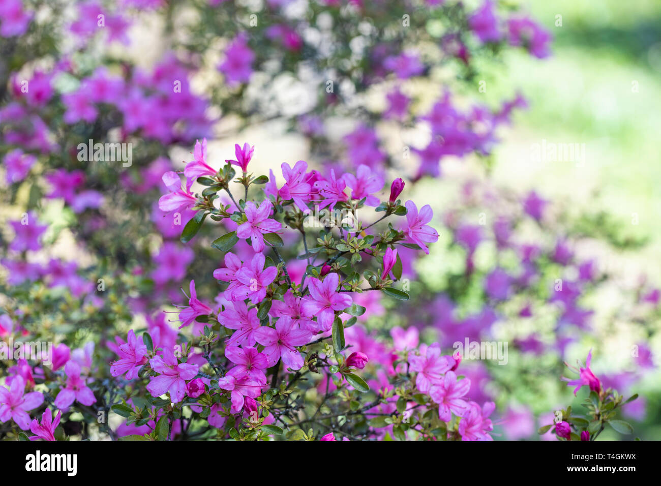 Close up of Rhododendron Hinomayo - pink Azalea flowering in an English garden Stock Photo
