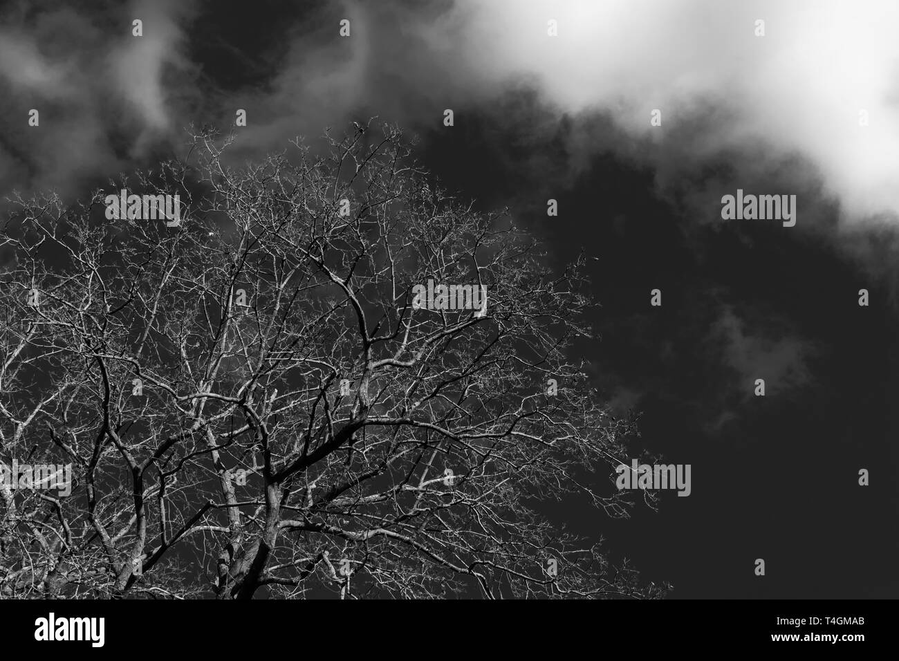 A tall tree, branches, and twigs reaching into a dark cloudy sky in black and white - Stock Image