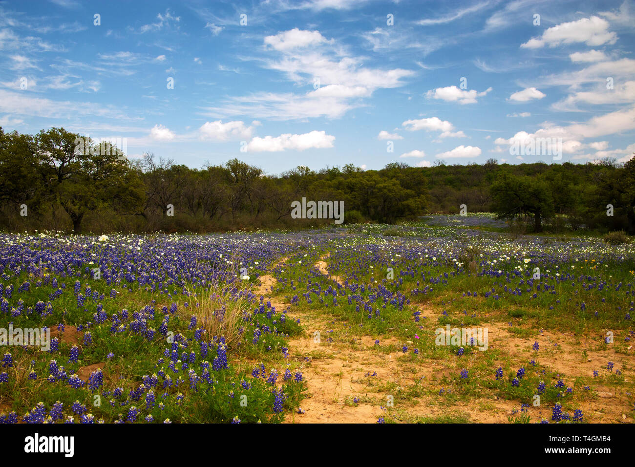 Old Road Through a field of Wild Flowers in Hill Country, Texas Stock Photo