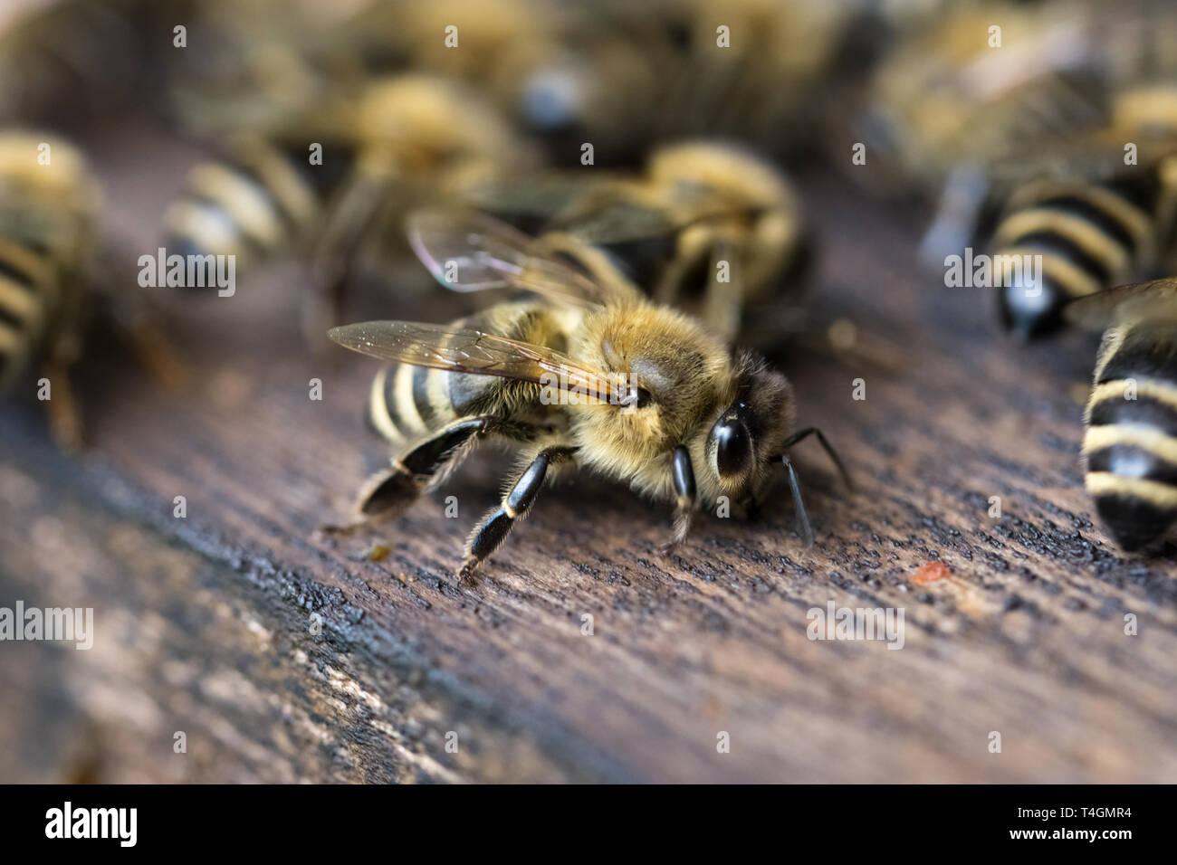 Makroaufnahme einer Biene - Stock Image