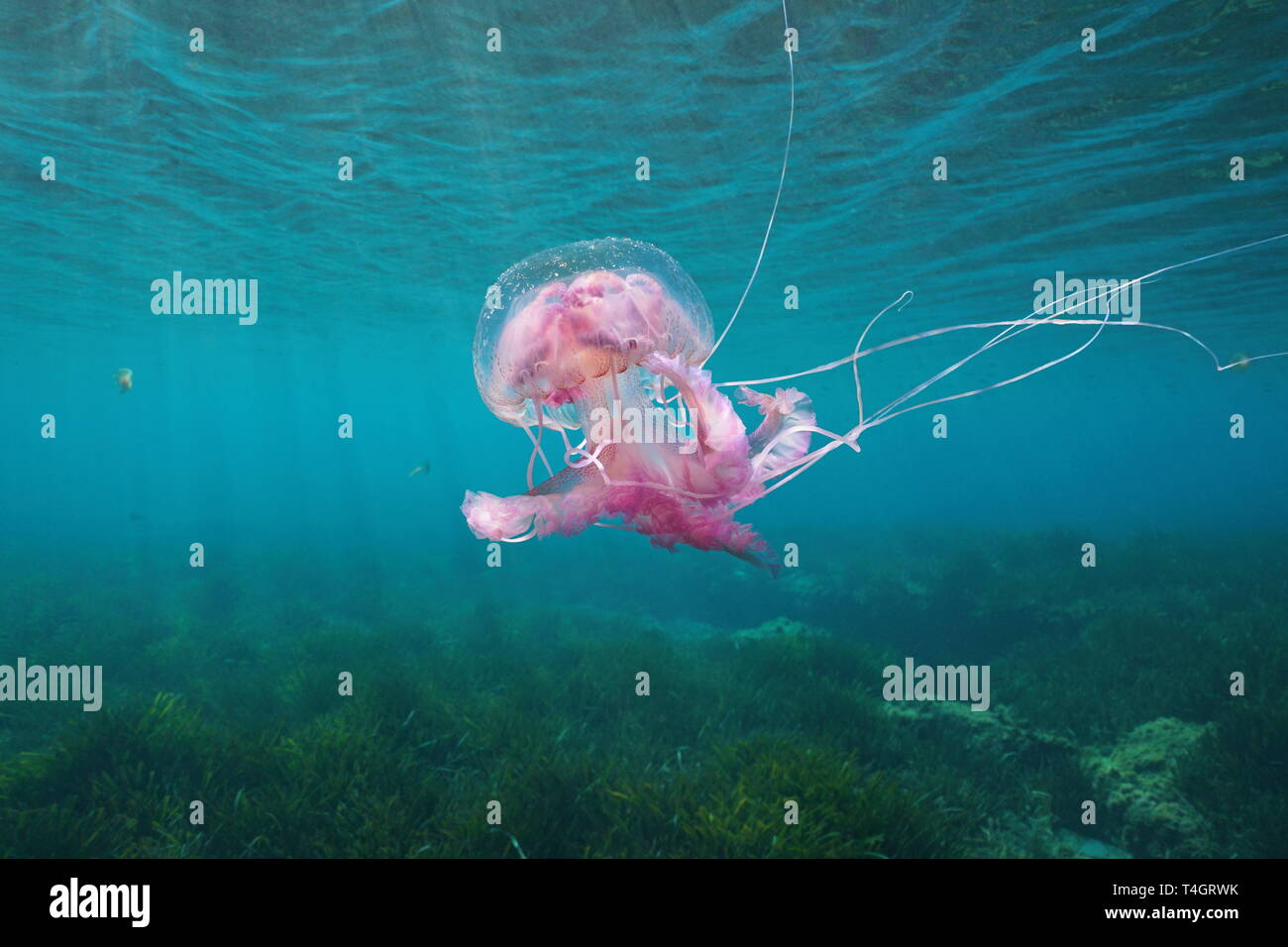 Beautiful jellyfish underwater in Mediterranean sea, Mauve stinger Pelagia noctiluca, Spain - Stock Image