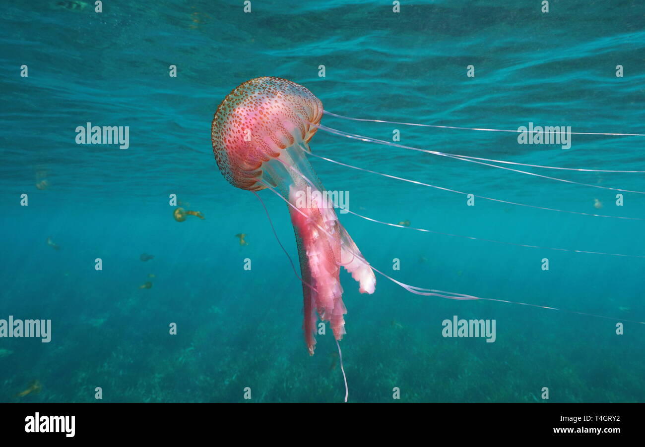 Mauve stinger jellyfish, Pelagia noctiluca in Mediterranean sea, Spain - Stock Image