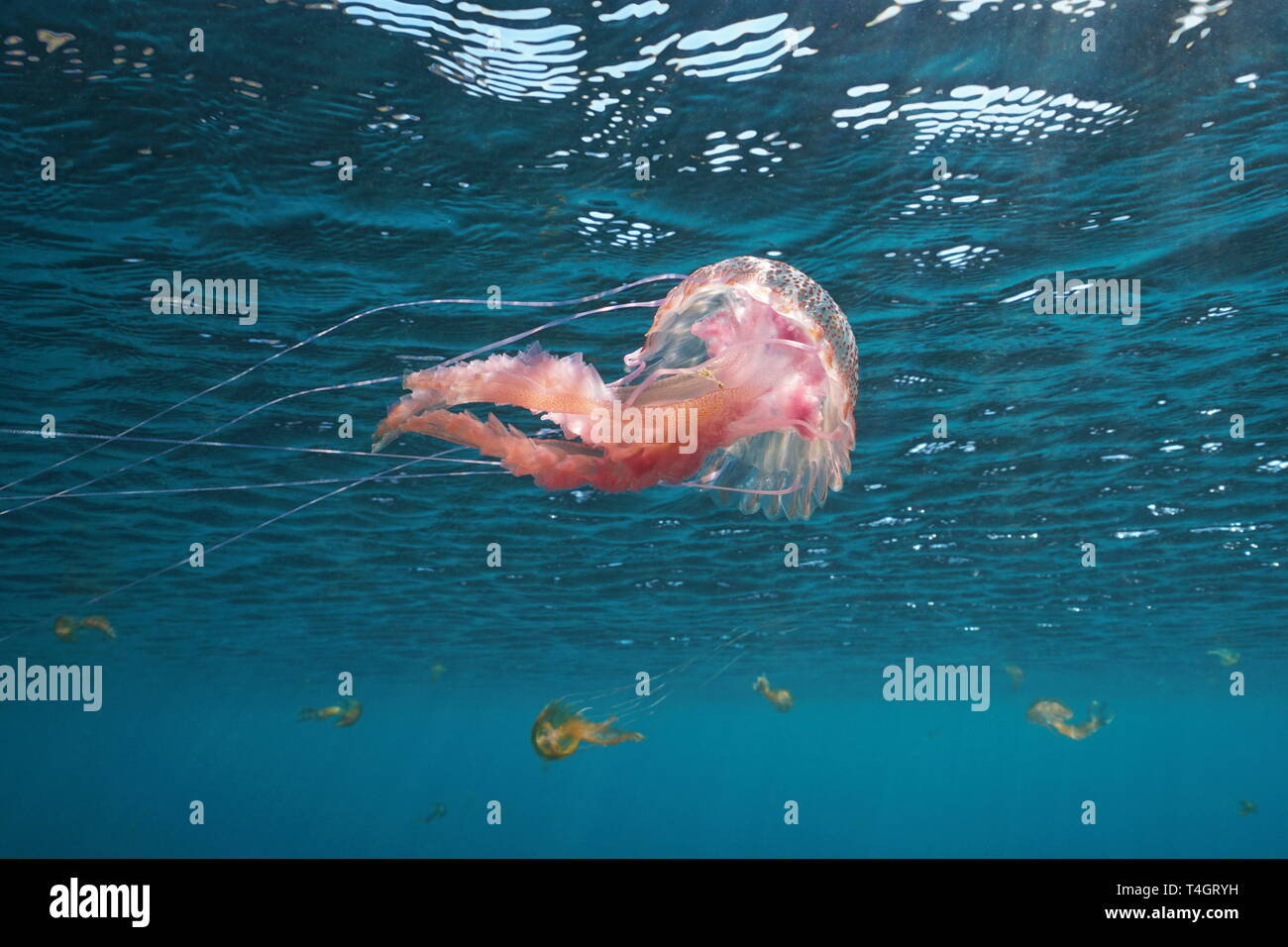 Jellyfish below water surface, Mauve stinger Pelagia noctiluca, in Mediterranean sea, Spain - Stock Image