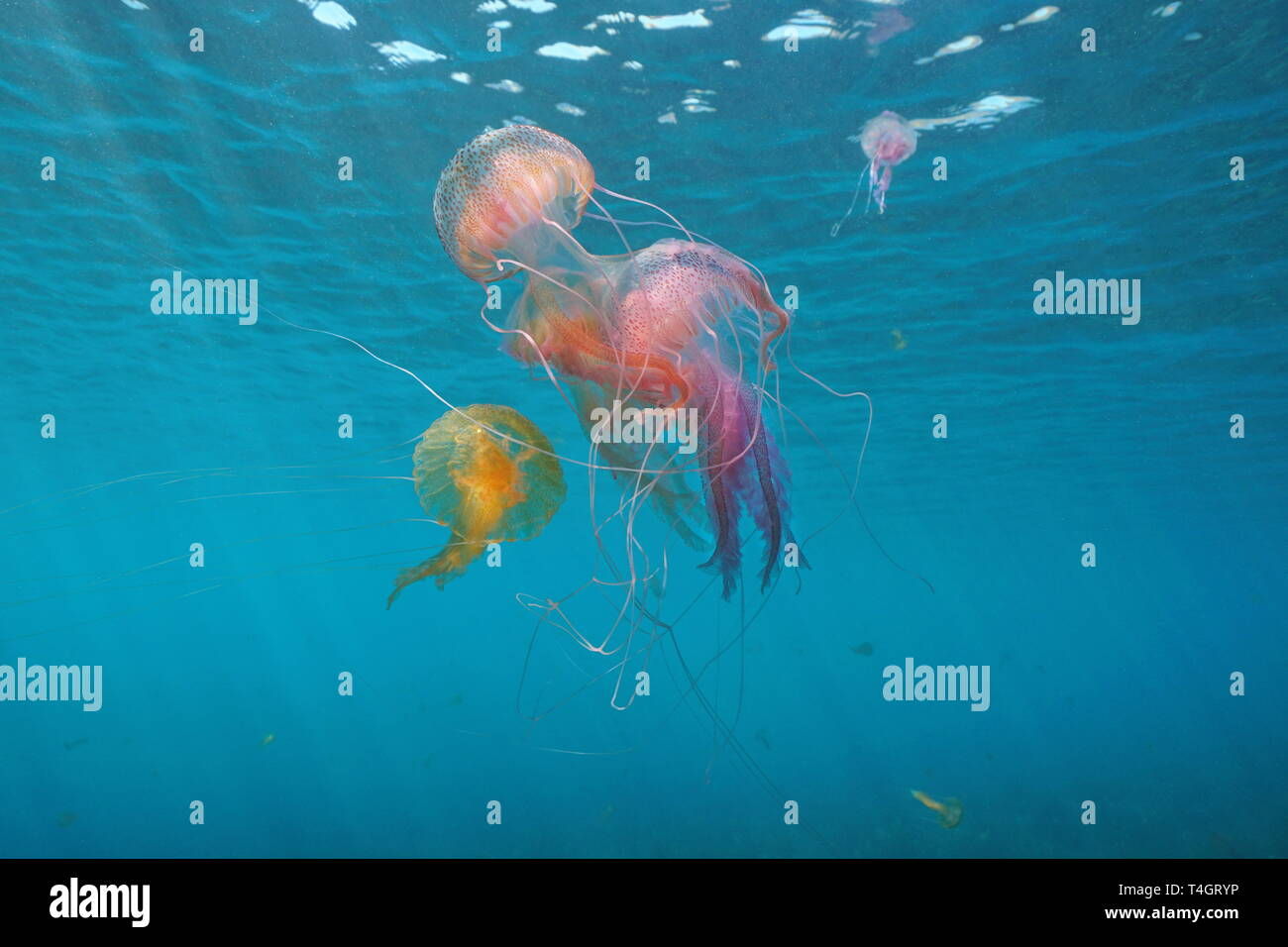 Several jellyfish underwater in Mediterranean sea, mauve stinger Pelagia noctiluca, Spain - Stock Image