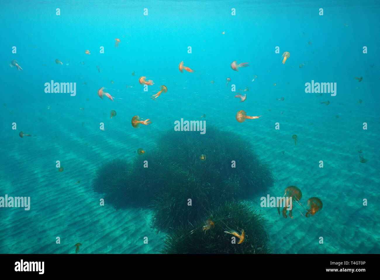 Many jellyfish underwater in Mediterranean sea, mauve stinger Pelagia noctiluca, Spain - Stock Image