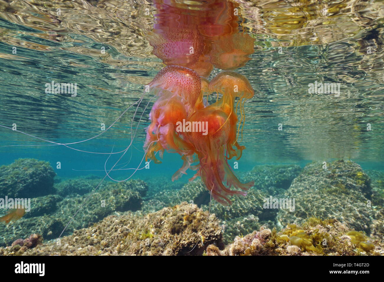 Aggregate of several jellyfish Pelagia noctiluca underwater below sea surface, Mediterranean, Spain - Stock Image